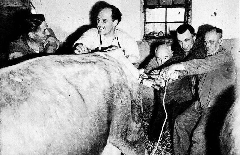 Über den Ottenheimer Tierarzt Heinz Kr...ls Geburtshelfer beim Kalben zu sehen.  | Foto: Martin Frenk