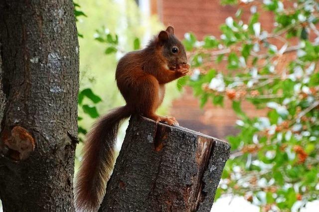 Jööööööööh – ein Eichhörnchen!