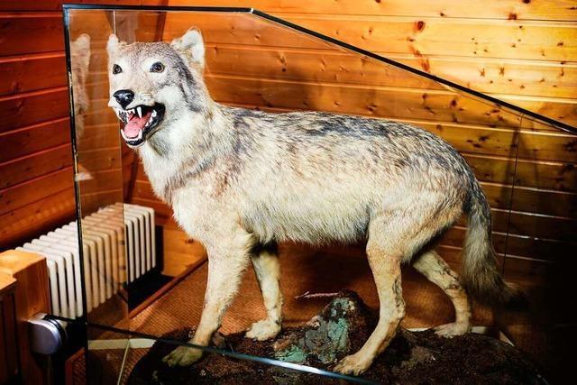 Experten rechnen fest mit drittem sesshaften Wolf