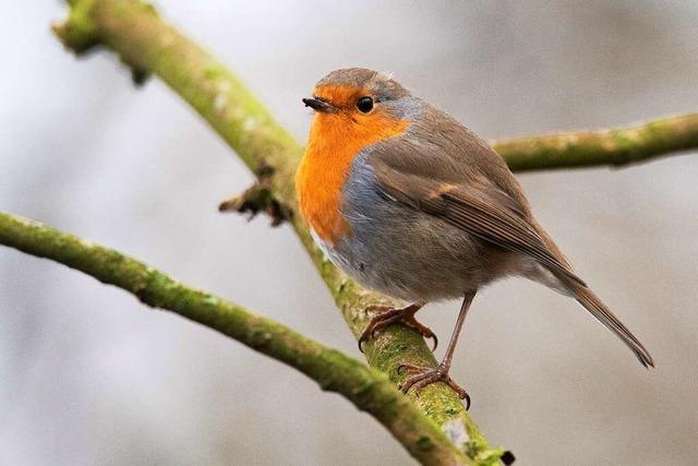 Das Rotkehlchen ist Favorit bei der Wahl zum Vogel des Jahres