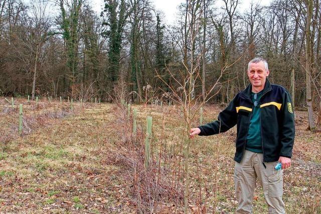 Wie Förster am Kaiserstuhl nach dem Wald der Zukunft suchen