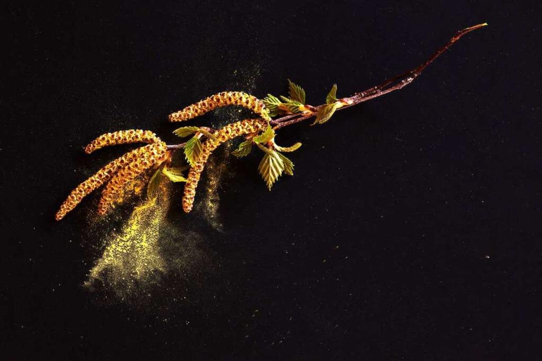 Birkenpollen plagen Allergiker    Foto: Ingo Bartussek (stock.adobe.com)