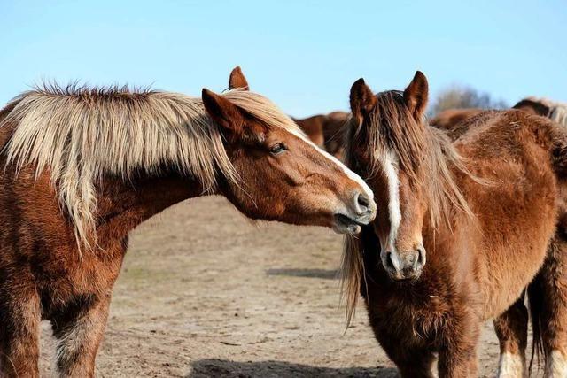 Abstand halten heißt es auch in Pferdeställen, dort geht die Sorge vor dem Pferdeherpes-Virus um