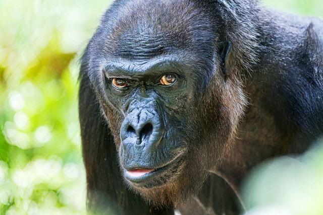 Gorilladame Quarta ist im Alter von 52 Jahren im Basler Zoo gestorben