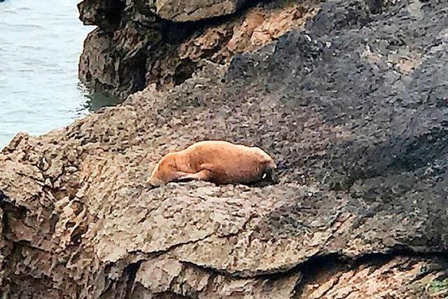Walross aus der Arktis an der Küste von Wales gesichtet