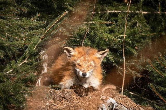 Im Hochschwarzwald verbreitet sich die ansteckende Fuchsräude