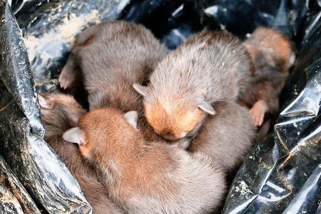 Unbekannte entsorgen junge Füchse auf einem Feld bei Herbolzheim