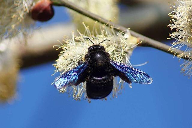 Eine Holzbiene saugt Nektar an einer frühblühenden Weide