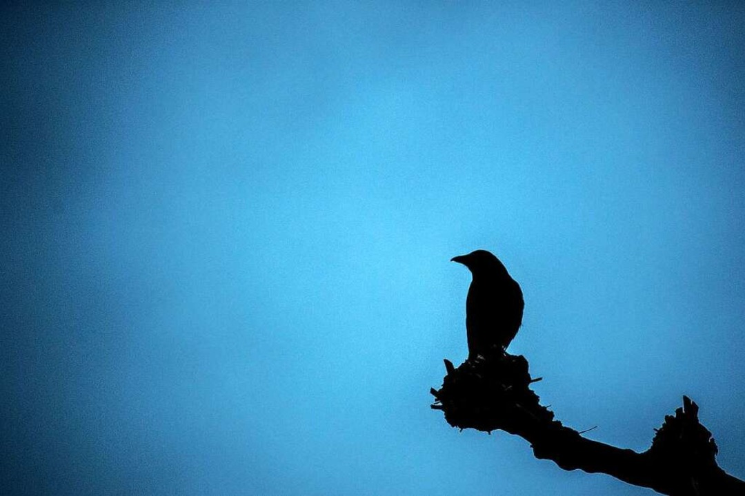 Krähe auf Baum  | Foto: Federico Gambarini (dpa)