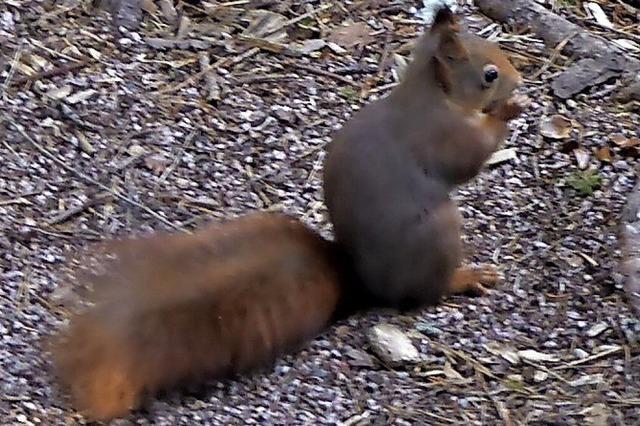 Putzige Eichhörnchen