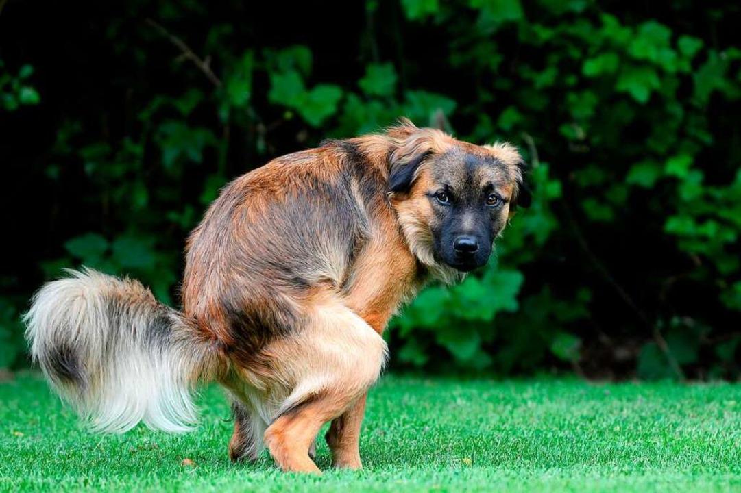 Muss mal: Hund mit Bedürfnis.  | Foto: Carola Schubbel  (stock.adobe.com)