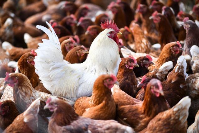 Tiere aus NRW haben Vogelgrippe nach Südbaden eingeschleppt