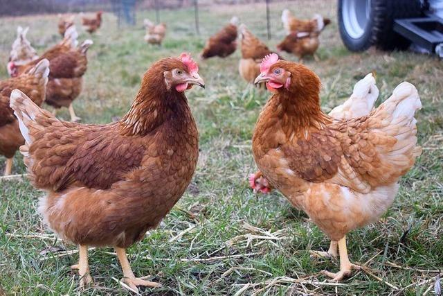 In sechs Betrieben im Kreis Lörrach gibt es Vogelgrippe-Fälle