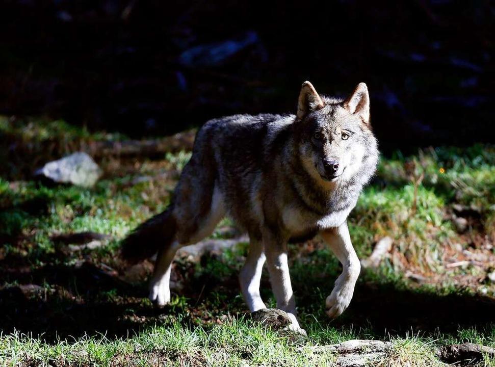 Der Wolf polarisiert.    Foto: VALERY HACHE (AFP)