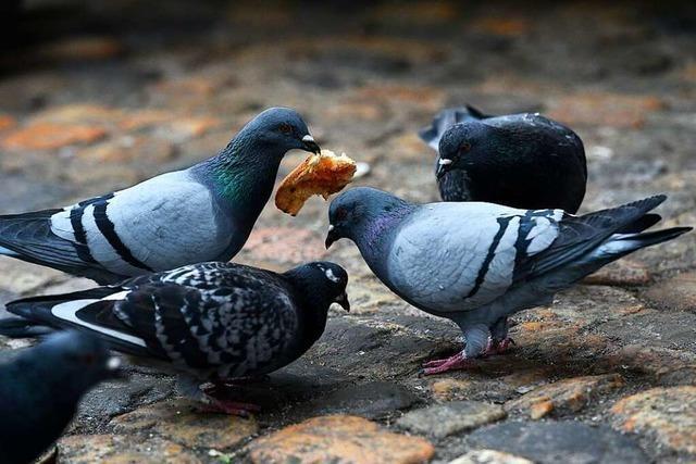 Warum die einen die Taube hassen und die anderen sie lieben