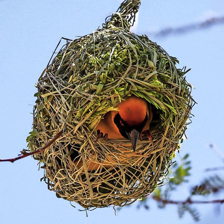 Webervögel sind die Meisterarchitekten unter den Vögeln.  | Foto: Lukas  (stock.adobe.com)