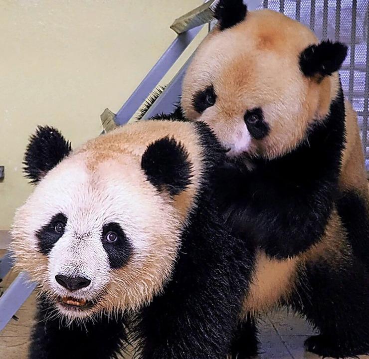 Pandafrau Huan Huan and  Huan Zi  | Foto: GUILLAUME SOUVANT (AFP)