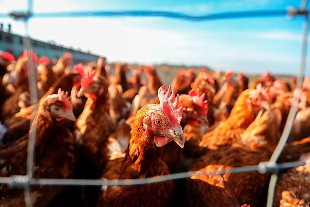 Keinen Ausgang mehr haben Hühner und a...ezirks und auch im Beobachtungsbezirk.  | Foto: Jan Woitas (dpa)