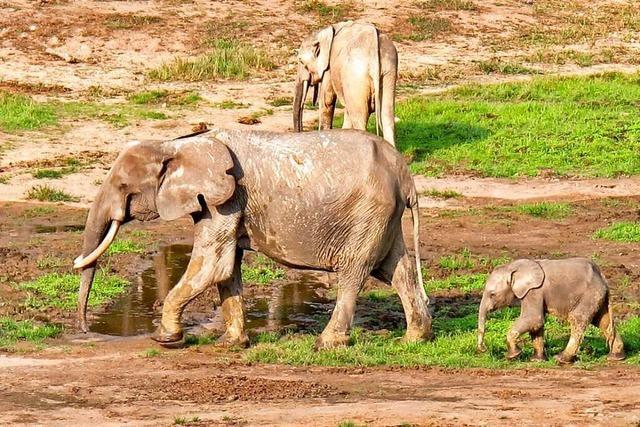 Waldelefanten in Westafrika sind vom Aussterben bedroht