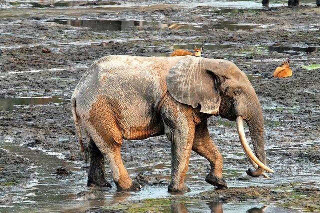 Warum sind die Waldelefanten bedroht?