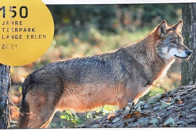Das Jubiläumsjahr des Tierparks Lange Erlen steht im Zeichen des Wolfes