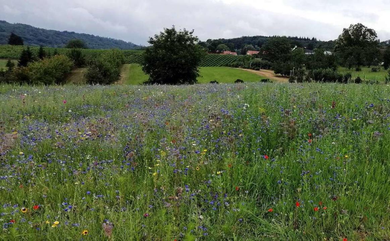 Der ungewohnt bunte Anblick von Blühwi...sein -  durch Blühwiesenpatenschaften.    Foto: Astrid Hellebrand