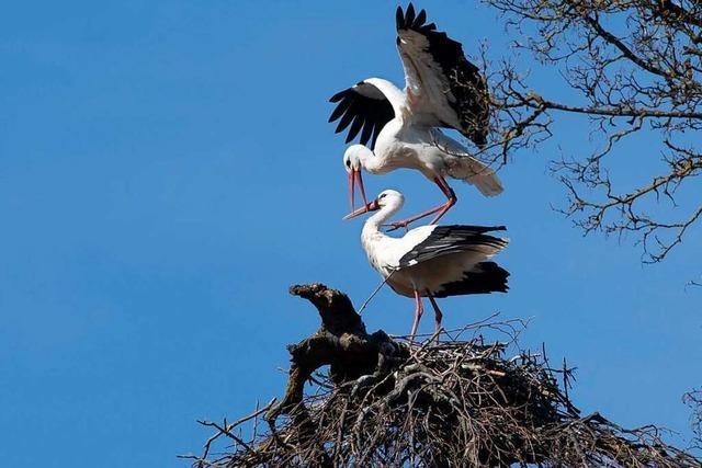 In Müllheim hat sich offenbar ein drittes Storchenpaar niedergelassen