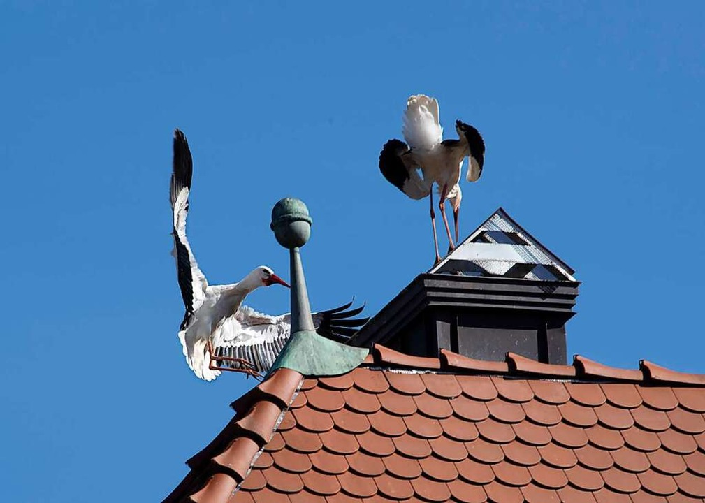 Die Störche in der Werderstraße sitzen...gangenen Jahr ein Nest gebaut hatten.   | Foto: Volker Münch