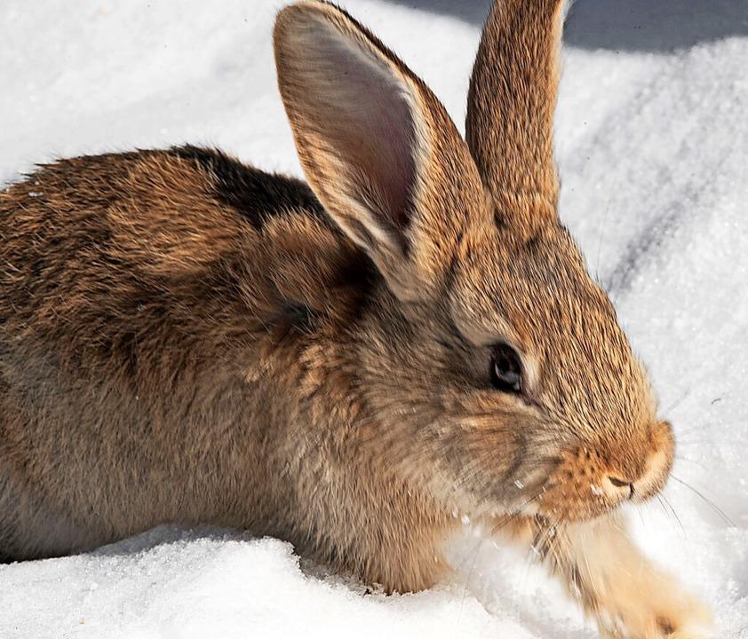 Bei Michael Stritt sind die Kaninchen ...waren die Gesellen draußen unterwegs.     Foto: Wolfgang Scheu
