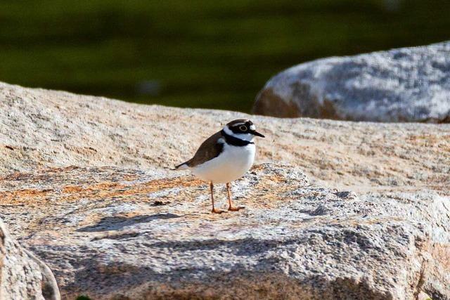 Seltenen Vogel an der renaturierten Elz schützen
