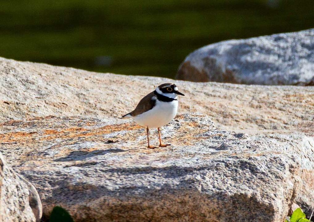 Seltener Vogel: Der Flussregenpfeifer brütet wieder an der renaturierten Elz.  | Foto: Carsten Brinkmeyer