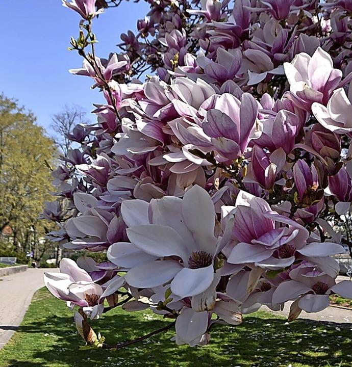 Beim Haus Salmegg stehen die Magnolienbäume in voller Pracht.    Foto: Horatio Gollin