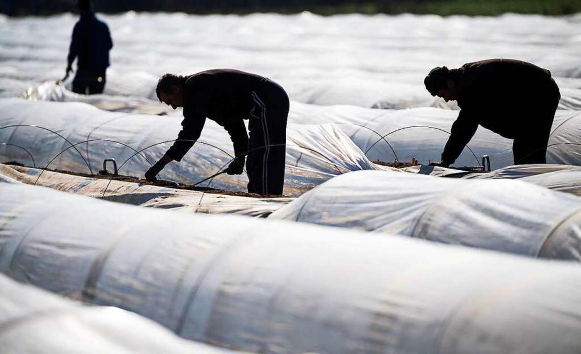 Für die Spargel- und Erdbeerernte werden viele Arbeitskräfte benötigt.     Foto: Sebastian Gollnow (dpa)