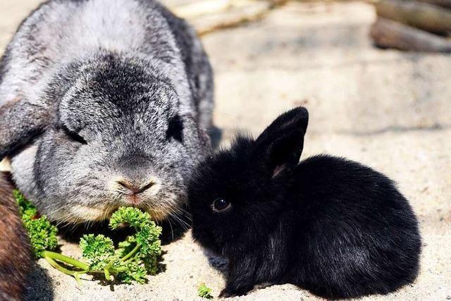 Warum die Schokohasen oft Kaninchen gleichen