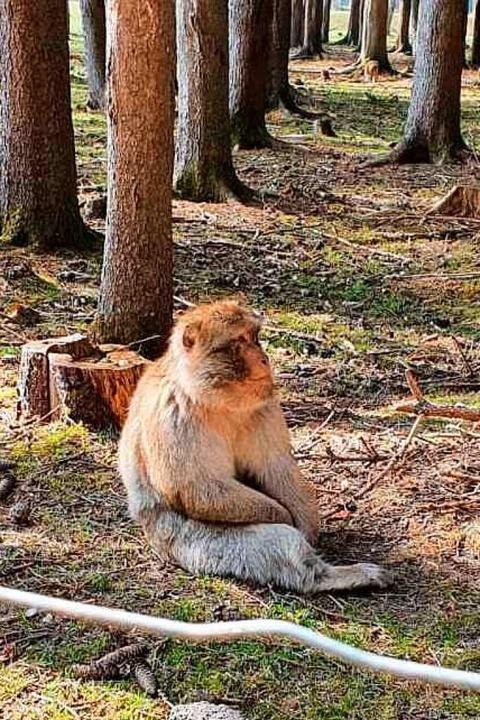 Auch ein Affe braucht mal ruhige fünf Minuten.  | Foto: Peter Stellmach