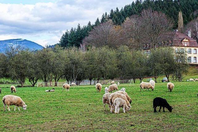 Den Osterlämmern in Grunern geht es gut – auch dem schwarzen Schaf
