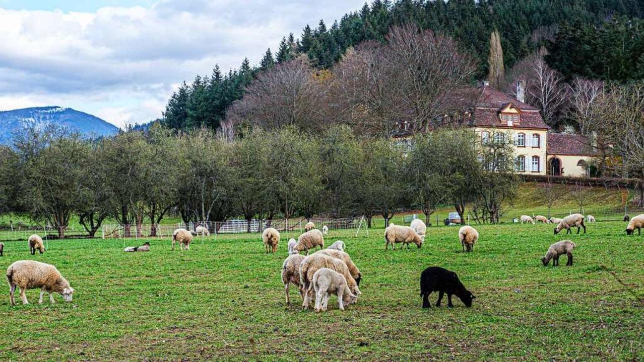 Schafe in Grunern.  | Foto: Peter Stahl