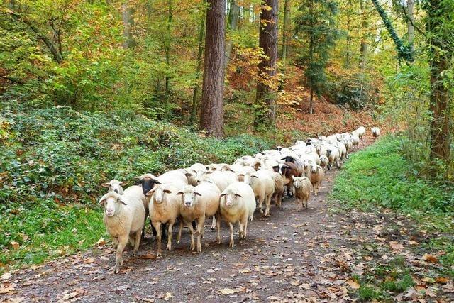 Schafherde im Hornwald