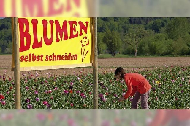 Neue Masche schädigt Ortenauer Anbieter von Blumenfeldern für Selbstpflücker
