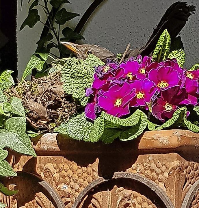 Das Brutgeschäft im Blumentopf ist leider beendet.  | Foto: Gerhard Walser