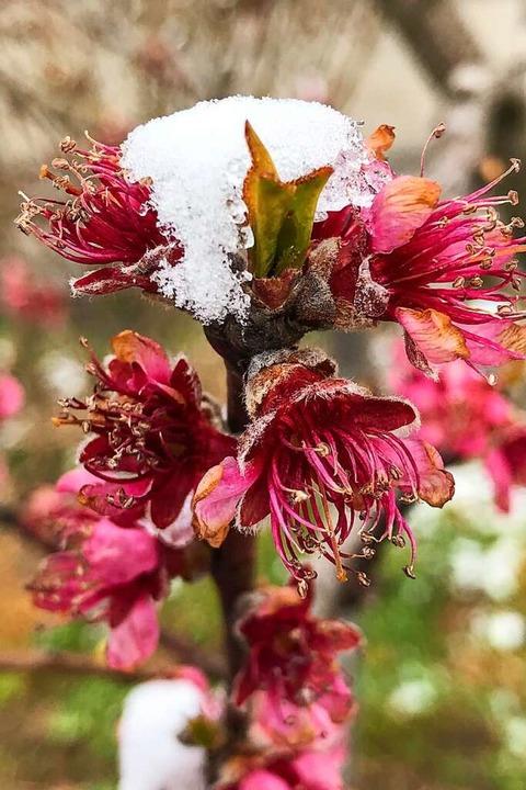 Vom Schnee bedeckte Pfirsichblüten &#8...genommen haben, steht noch nicht fest.  | Foto: Gabriele Hennicke