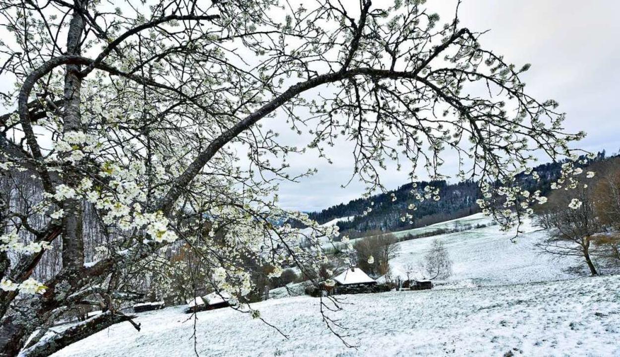 Aprilwetter – mit Blütenzweigen und schneebestäubten Hängen  | Foto: Michael Bamberger