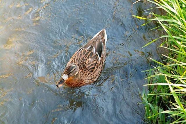 Illegal entsorgter Müll in Ettenheim schadet den Wasservögeln