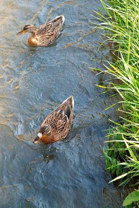 Enten finden in der Natur genug Nahrung.  | Foto: Stadt Ettenheim