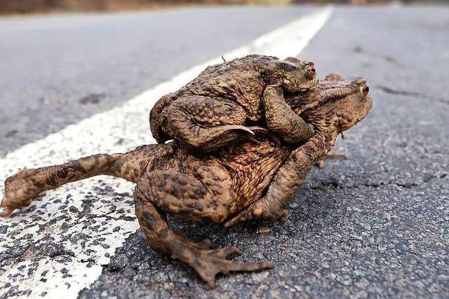 Kröten können zwischen Rümmingen und Wittlingen die Straße nur noch richtig queren