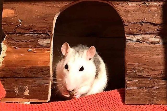 Ratten sind fabelhaft
