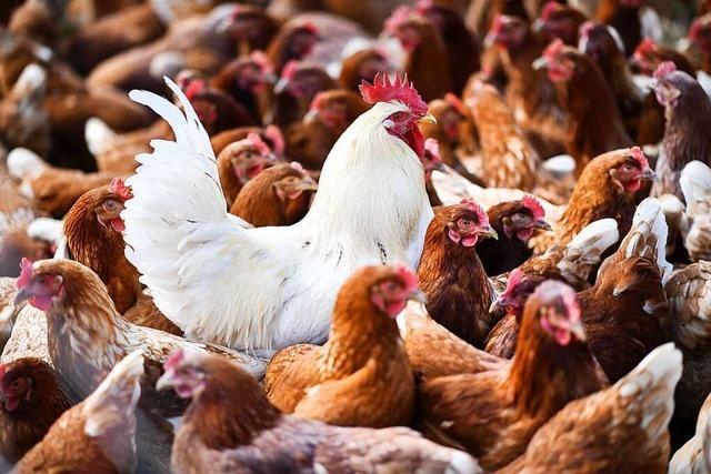 Geflügelpest-Sperrzonen in der Region Freiburg ausgeweitet