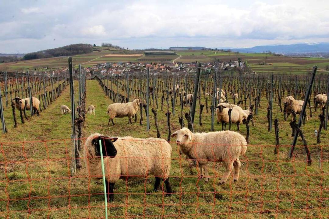 Suffolk- und Merino-Schafe mit ihren L... Brenneisens    oberhalb von Egringen.  | Foto: Reinhard Cremer