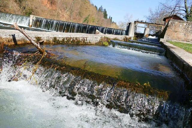 Nicht alle Fische können die Fischtreppe am Hammerwehr in Schopfheim nutzen