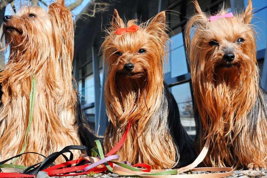 Drei Yorkshire Terrier (Symbolbild)    Foto: Helmut Seller